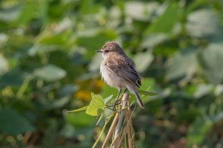 White-tailed_Stonechat_f_-_Saxicola_leucurus.jpg