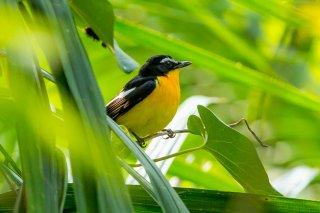 Yellow-rumped_Flycatcher.jpg