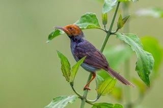 Ashy Tailorbird - Orthotomus ruficeps