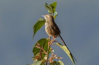 Black-throated Prinia - Prinia atrogularis