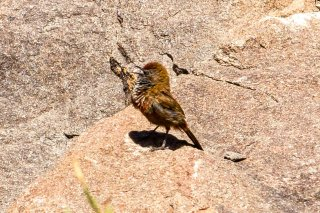 Cinnamon-breasted Warbler - Euryptila subcinnamomea