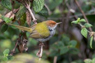 Common Tailorbird - Orthotomus sutorius