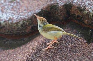 Dark-necked Tailorbird - Orthotomus atrogularis