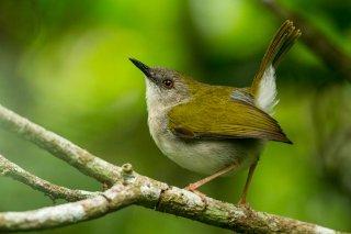 Green-backed Camaroptera - Camaroptera brachyura