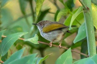 Grey-backed Camaroptera - Camaroptera brevicaudata