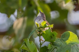 Grey-breasted Prinia - Prinia hodgsonii