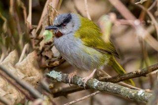 Grey-capped Warbler - Eminia lepida