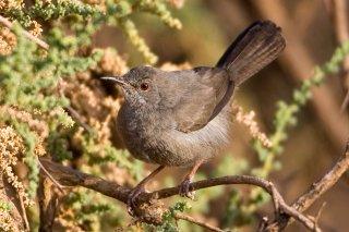 Grey Wren-Warbler - Calamonastes simplex