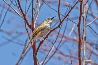 Namaqua Warbler - Phragmacia substriata