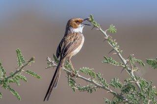 Rufous-eared Warbler - Malcorus pectoralis
