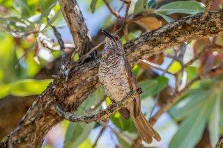 Stierling's Wren-Warbler - Calamonastes stierlingi