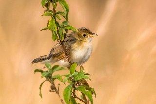 Whistling Cisticola - Cisticola marginatus