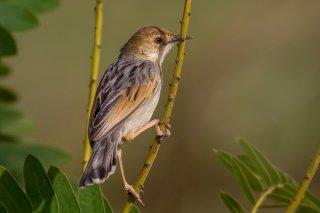 Winding Cisticola - Cisticola marginatus