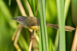 Yellow-bellied Prinia - Prinia flaviventris