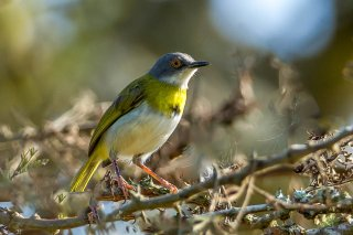 Yellow-breasted Apalis - Apalis flavida