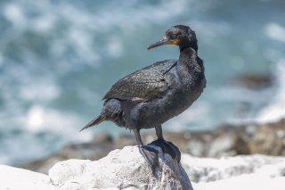 Cape_Cormorant.jpg