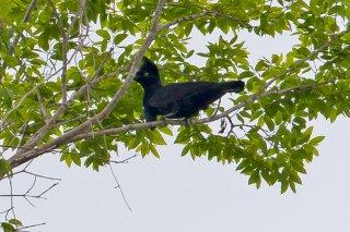 Amazonian Umbrellabird - Cephalopterus ornatus