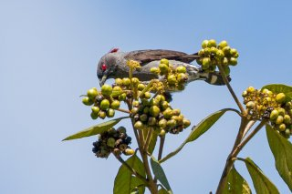 Red-crested Cotinga - Ampelion rubrocristatus