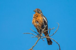 Rufous-tailed Plantcutter - Phytotoma rara