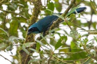 Black-collared Jay - Cyanolyca armillata