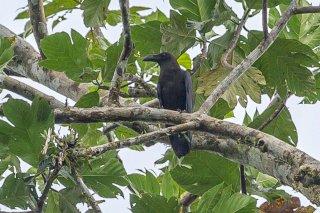Brown-headed Crow - Corvus fuscicapillus