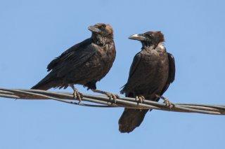 Brown-necked Raven - Corvus ruficollis