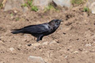 Cape Crown - Corvus capensis