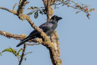 Eastern Jungle Crow - Corvus levaillantii