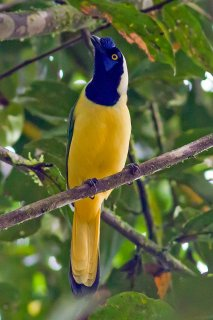 Inca Jay - Cyanocorax yncas