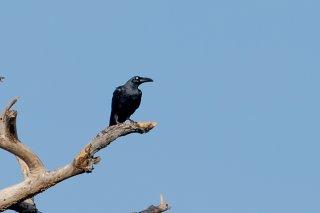 Long-billed Crow - Corvus validus