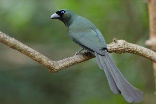 Racket-tailed Treepie - Crypsirina temia