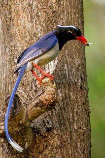 Red-billed Blue Magpie - Urocissa erythroryncha