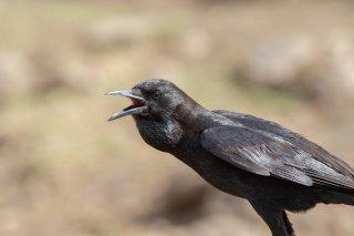 Somali Crow - Corvus edithae