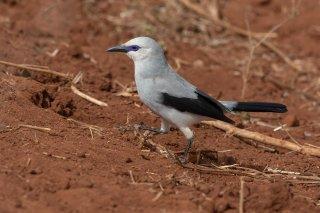 Stresemanns Bushcrow - Zavattariornis stresemanni
