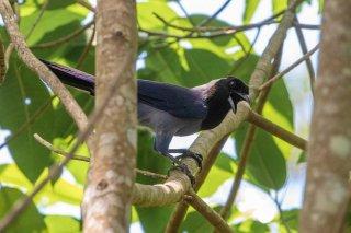 Violaceous Jay - Cyanocorax violaceus