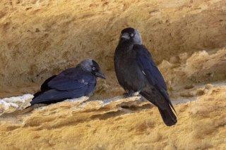 Eurasian Jackdow - Corvus monedula