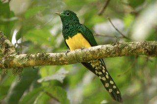 African_Emerald_Cuckoo.jpg