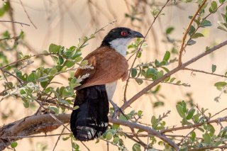 Coppery-tailed_Coucal.jpg