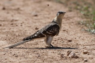 Great-spotted_Cuckoo.jpg