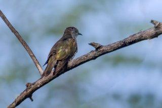 Little_Bronze_Cuckoo.jpg