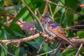 Violet_Cuckoo_-_Chrysococcyx_xanthorhynchus.jpg