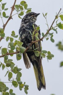 Black Cuckooshrike - Campephaga flava