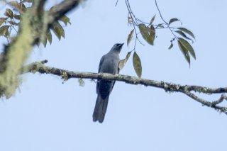 Cerulean Cuckooshrike - Coracina temminckii