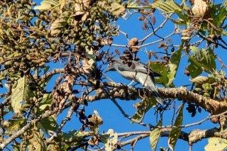 Indochinese Cuckooshrike - Lalage polioptera