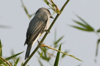 Large Cuckooshrike - Coracina macei