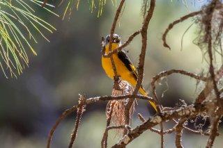 Long-tailed Minivet (f) - Pericrocotus ethologus