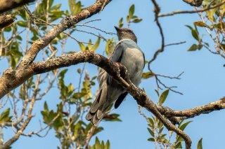 Madagascar Cuckooshrike - Ceblepyris cinereus
