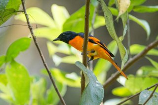 Orange Minivet - Pericrocotus flammeus