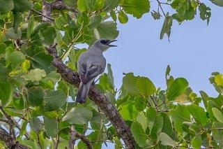 Wallacean Cuckooshrike - Coracina personata