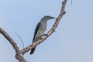 White-rumped Cuckooshrike - Coracina leucopygia